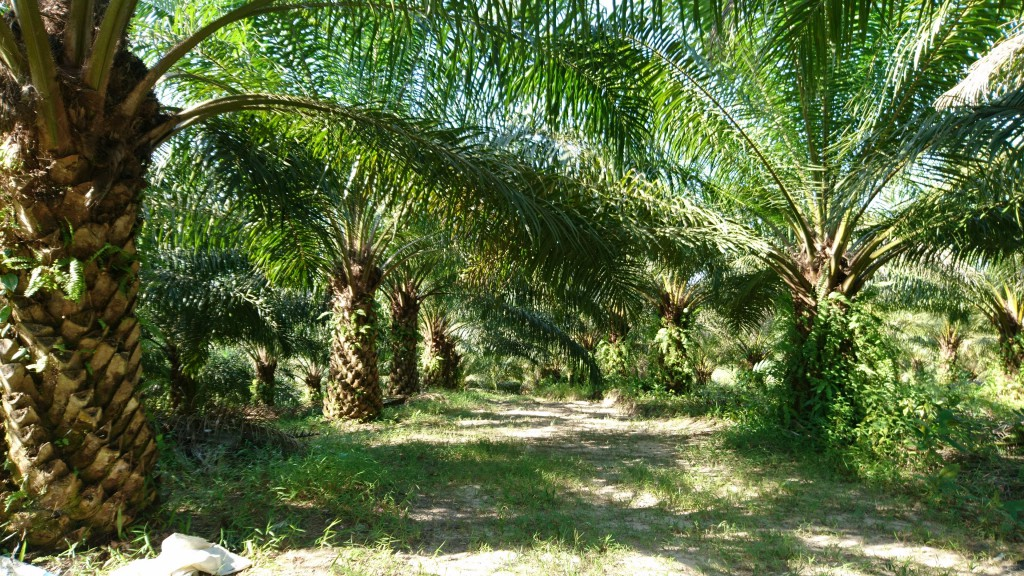 oil palm plantation east kalimantan